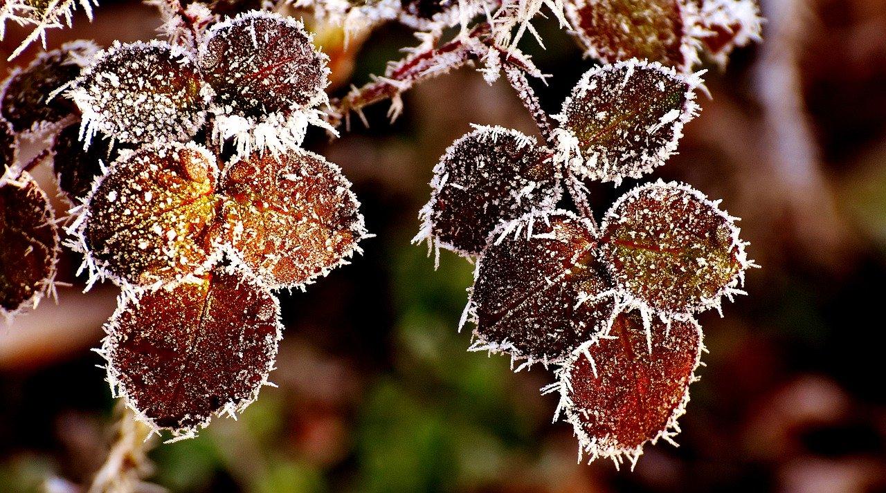 Frost Rosen Schutz Winter