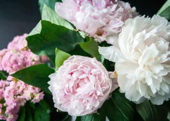 Rosen vor Frost schützen (Tipps) | Frostschutz für Pfingstrosen