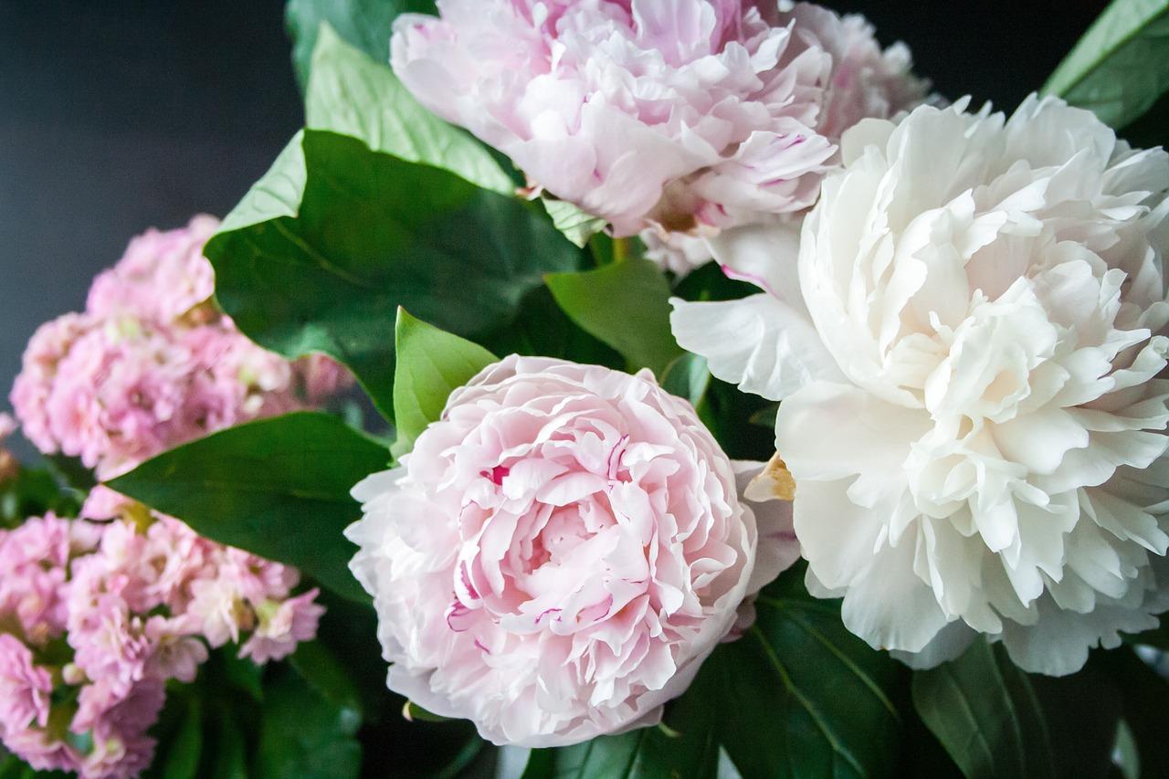 Pfingstrosen Rosafarbene Blüte
